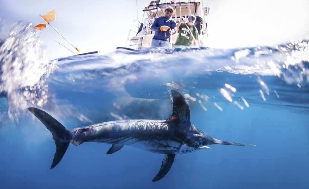a research article about Drs Diego Bernal and Chugey Sepulveda are studying swordfish eco-physiology to understand how they are able to adapt to extreme conditions in the wild.