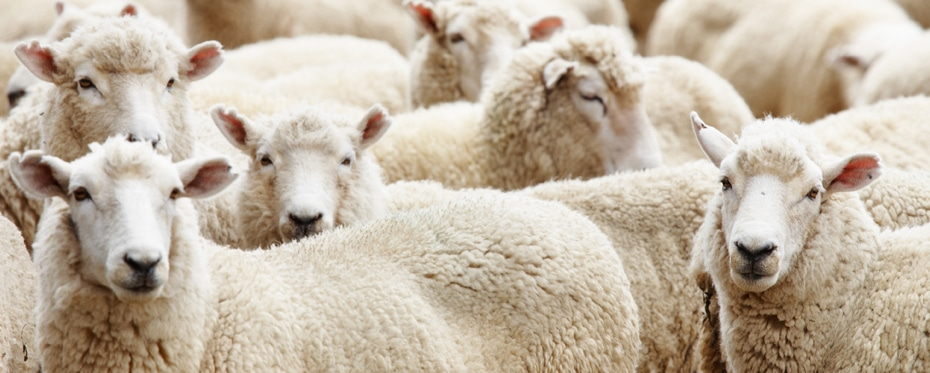 Biology Understanding the impact of Mycoplasma ovipneumoniae in domestic sheep
