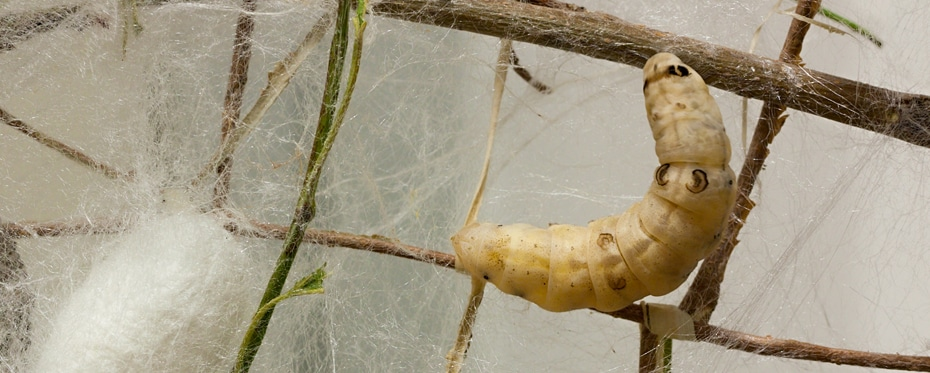 Testing in silkworms provides preventative diabetes treatment