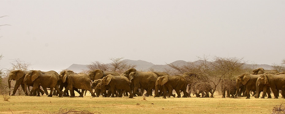 An elephant population migrating within the Sahel region.