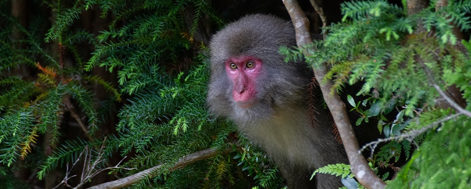 Brains over brawn: Mating strategies in Japanese macaques