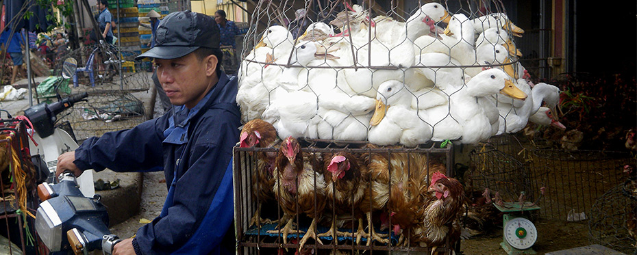 Understanding farmers' behaviour to better control avian influenza