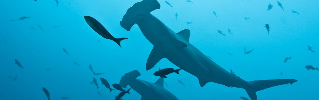 By assessing their migratory routes, the researchers ensure that populations of the scalloped hammerhead shark are protected through conservation and management tools.