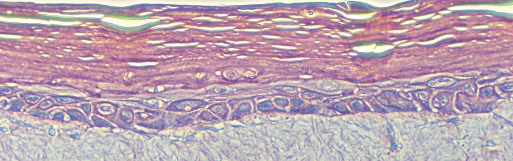 Dr Hitomi Fujisaki studies human epidermal keratinocytes (skin cells).