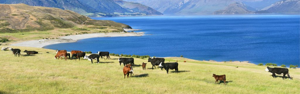 Cow genetics could reduce the environmental impact of pastoral livestock production