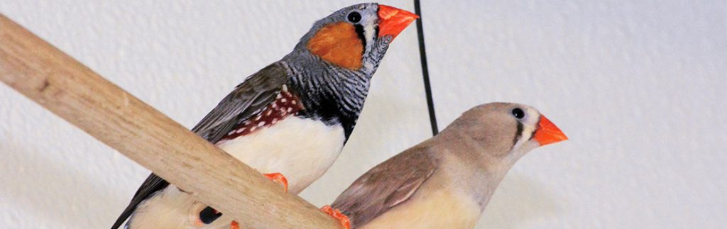 For zebra finches, the subtle nuances in sound texture or timbre are more important than the sequence of repeated sounds.