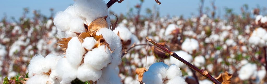 The aim of introducing Bt cotton to India was to reduce the amount of insecticide needed in farming cotton.