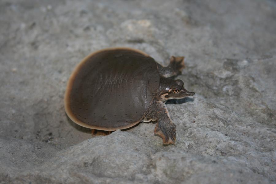 Prof Plummer investigates the hibernating behaviour of softshell turtles.