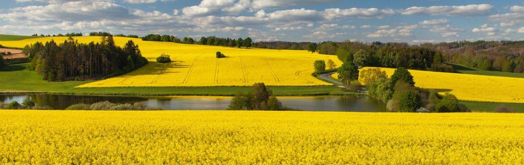 a field of yellow rape