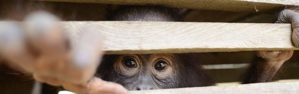 An orangutan looks out from a wooden box