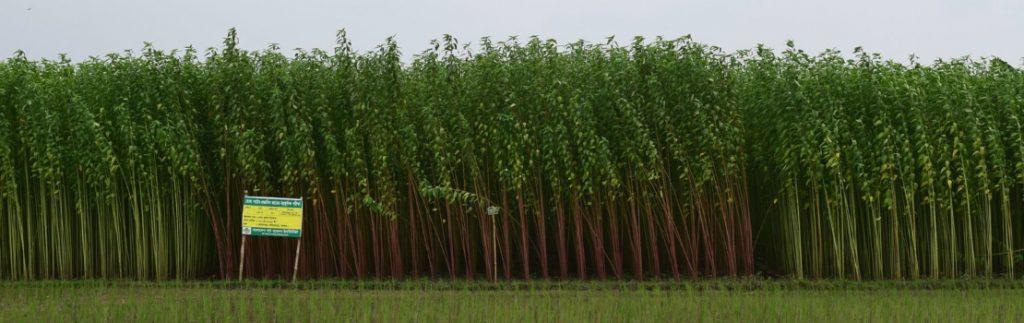 A field of jute.